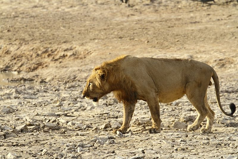 800px-West_African_male_lion